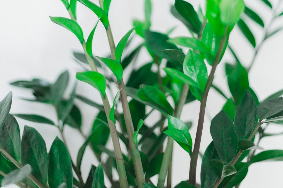 rempoter-zamioculcas-couv